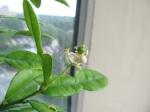 makrut leaves