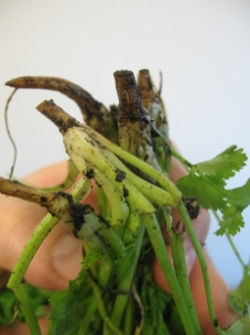 cilantro roots (available at many mainstream groceries these days)